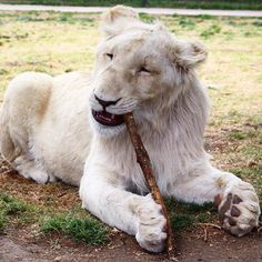 Gorakhito and his stick :) I will post the video later of him stealing it from Sonny :) #savelions #blackjaguarwhitetiger #thebluepridebjwt #itsallforlove @blackjaguarwhitetiger