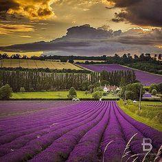 Castle Farm Lavender Fields, Shoreham Kent, England
