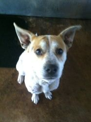 Rock Star is an adoptable American Bulldog Dog in Chipley, FL. This is 'Rock Star' bull?/carolina dog mix, male, 2-3 years old, very calm, loves attention and has the coolest looking ears. About 50 po...