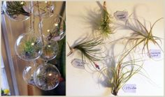 DIY hanging air plants - also an outdoor chandelier possibility?