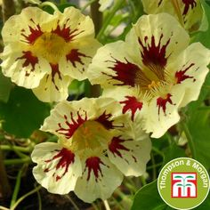 Nasturtium majus Orchid Cream | Direct2Grower, Ipswich, Suffolk, UK
