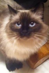 Annabelle is an adoptable purebred Ragdoll Cat in Nolensville, TN. Annabelle is a 3 year old, purebred rag doll. She is spayed, front declawed, micro-chipped, very affectionate and strictly an indoor cat. She ...