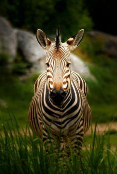 **Zebra