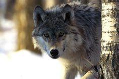 12 fotos comentadas de hermosos animales. Unos son cazadores; otros, sus presas: http://www.fotonostra.com/albums/animales/fotoscaza.htm.