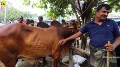 সিরাজগঞ্জের কামারখন্দ হাটে কেমন দামে কোরবানীর পশু বিক্রি হলো