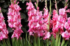 gladiolus-love this color! Gladiolus Bulbs, Gladiolus Flower, Tulips Flowers, List Of Flowers, Flowers For You, Large Flowers, Gladioli, Types Of Orchids, Types Of Flowers