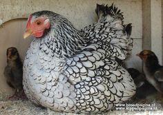 www.kippenpagina.nl Wyandotte hen met kuikens  Wyandotte hen with chicks