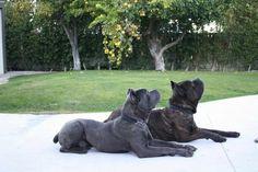 Cane Corso Italian Mastiff, Cane Corso Mastiff, Cane Corso Dog, Mastiff Breeds, Dog Breeds, Cute Funny Animals, Cute Dogs, Chien Cane Corso, Cane Corso Kennel