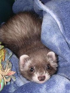 What a cutie! Baby Ferrets, Funny Ferrets, Animals And Pets, Baby Animals, Cute Animals, Ferret Supplies, Exotic Pets, Otters, I Love Cats