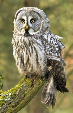 The Great Grey Owl or Lapland Owl ~ http://ourbeautifulworldanduniverse.com/bird-population-facts.html ‎Edit