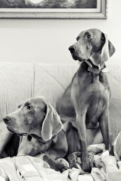Wemareiners are the perfect grey color for photography, and good photographic dogs! They were made famous by William Wegman!