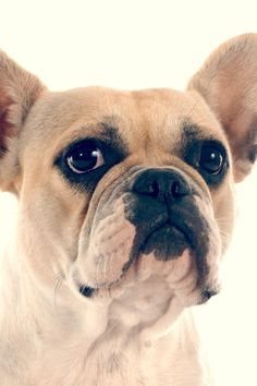 With a tough-on-the-outside, sweet-on-the-inside disposition, unmistakable bat-shaped ears and distinctive bow-legged gait, the French Bulldog has actually acquired a lot popularity that he's fast ending up being the city-dwellers' dog of choice. He's small– under 28 pounds– and has a brief, easy-care coat that is available in a variety of colors. He doesn't need a good deal of workout, fits conveniently into a condominium, co-op or home, and is far less likely to b Dog Training Methods, Dog Training Techniques, French Bulldog Mix, French Bulldogs, Cute Little Puppies, Small Puppies, Bow Legged, Funny French, Easiest Dogs To Train