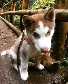 Best 25  Siberian husky training ideas on Pinterest