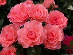 Photo of the rose 'Passionate Kisses' Floribunda Roses, Broken China Jewelry, Rose Photos, Herb Garden, My Flower, Pansies, Garden Projects, Spring Flowers, Organic Gardening