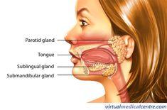 salivary glands - Google Search