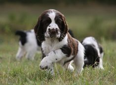 English Springer Spaniel naissances à l'élevage de springers anglais of Cookies…