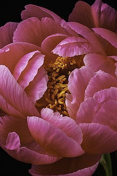 Pink Peony by Garry Gay