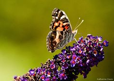 Photo of the Day: American Lady Butterfly, Permaquid Point, Maine