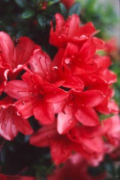 Azalea 'Scarlet Dragon' Planting, Gardening, Plant Pictures, Nurseries, Scarlet, Garden Plants, Garden Ideas, Dragon, Formal