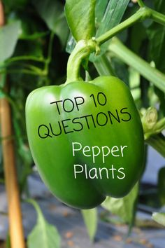 Top 10 Questions About Canna Lily Plants - Gardening Know How's Blog Bell Pepper Plant, Pepper Tree, Pepper Plants, Growing Green Peppers, Growing Greens, Greenhouse Gardening, Gardening Tips, Organic Gardening, Kitchen Gardening