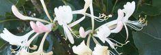honeysuckle o madreselva la mejor memoria, el mejor recuerdo traido del pasado para soplar como un mandala, www.alifcosmetic.com