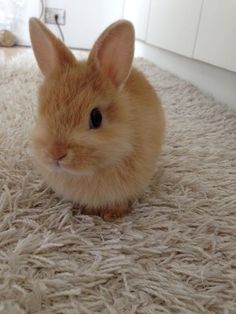 """Even a scallop is a rabbit - ほたてだってうさぎ his name is """"HOTATE"""" Baby Animals Super Cute, Cute Baby Bunnies, Cute Little Animals, Cute Funny Animals, Cute Babies, Cute Bunny Pictures, Baby Animals Pictures, Cute Animal Pictures, Fluffy Animals"""
