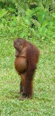 "The rare, ""I'm pouty cuz I miss you Orangutan,"" captured in the wild. S… The rare, ""I'm pouty cuz I miss you Orangutan,"" captured in the wild. The Animals, Baby Animals, Funny Animals, Primates, Mammals, Beautiful Creatures, Animals Beautiful, Photo Chat, Animal Kingdom"