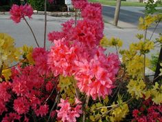 northern lights azalea/rhododendrons for medium shade