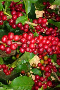 Daterra Brasil, organic coffee