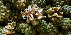 How to Harvest Piñon Pine Nuts
