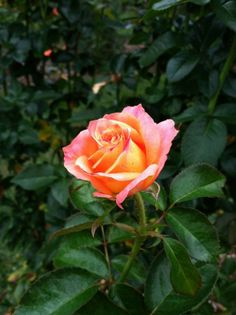 Sorbet-coloured rose  - http://earth66.com/sorbet-coloured-rose/