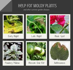 Common summer garden diseases are caused by fungus spores in garden soil. Learn how to treat moldy plants and prevent plant diseases. Plant Diseases, Garden Pests, Black Spot, Summer Garden, Agriculture, Gardening Tips, Plant Leaves, Plants, Diy