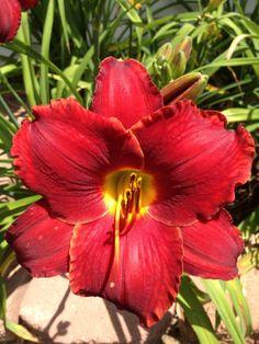 Daylily 'Scarlet Romance'