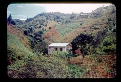 """""""Homes"""". Cultivated hillsides, bucares tree in bloom 