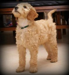 Our new puppy an Irish Doodle - (cross between an Irish red setter and a poodle). Soft as a teddy bear and does not shed.