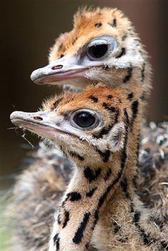 Ostrich chicks - Travelling to South Africa with Via Volunteers opens the door to amazing wildlife encounters. Pretty Birds, Beautiful Birds, Animals Beautiful, Lovely Eyes, Camelus, Tier Fotos, Big Bird, Wild Birds, Bird Watching