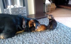 This Giant Dog Begging A Tiny Kitten For Attention Is So Cute It Hurts