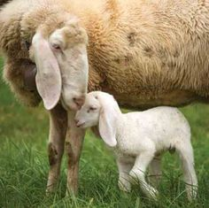 Shepherd usually doesn't have to worry during lambing season; ewes take care of lambs without much difficulty.