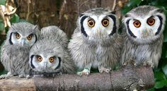 Are those MUSTACHED owls???