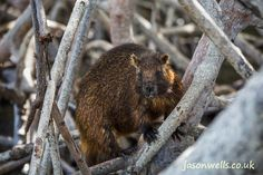 Cuban hutia in the mangroves.   See the rest of my wildlife images in full size by clicking on the thumbnail.  They are also available to buy in a variety for formats or as a digital download without the watermark.