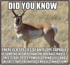 Did you know there is a species of antelope capable of jumping higher than the average house? This is due to its powerful hind legs and the fact that the average house cannot jump.