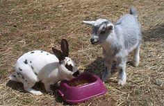 Pygmy Goat and rabbit