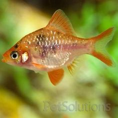 1000 images about fresh water fish on pinterest fresh for Semi aggressive fish