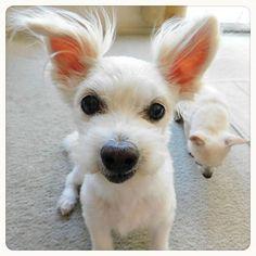 これからもよろしくお願いします💕  ドヤ顔担当−キャンディ おじぎ担当−クッキー  ご心配をおかけしましたが、本日主人が無事退院しました✨  あらためて、皆さん温かいメッセージありがとうございました😃💕 ・ ・ #シニア#ミックス犬#mix犬 #ワンコ#雑種犬#雑種 #チワワ#ちわわ #チワワミックス #プードルミックス #癒し#愛犬#白い犬#親バカ #カリフォルニア ・