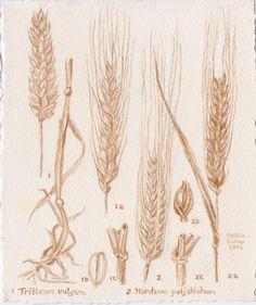 Barley and Wheat botanical drawing
