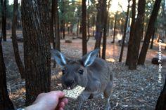 Australien - Für eine Scheibe Knäckebrot legt das Walleby, so werden die kleineren Kängurus genannt, bereitwillig seine Scheu ab. www.weltreisender.net / Foto: Ingo Paszkowsky