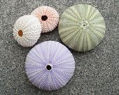 Sea Urchin Assortment
