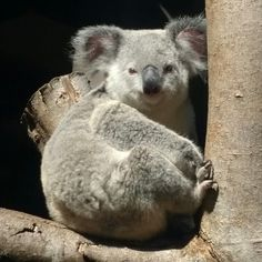 Beautiful Koala in Northen Queensland Australia  #koala #animallover #animal #queensland #australia #beautiful