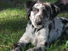 Catahoula breed of dog with leopard spots.