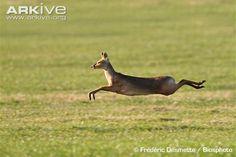 Chinese water deer running